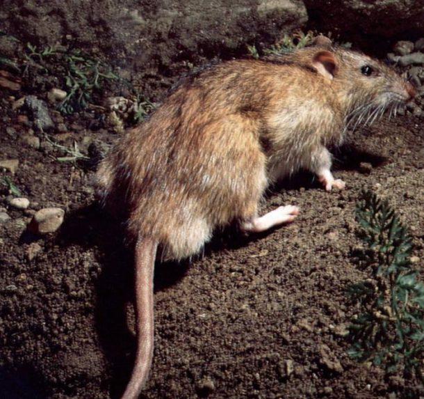 Rato Gigante do Esgoto Características