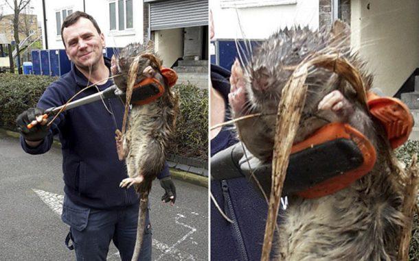 Rato Gigante do Esgoto em Londres