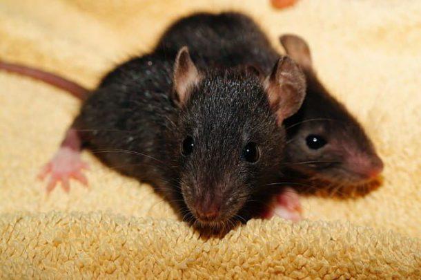 Rato Preto Curiosidades