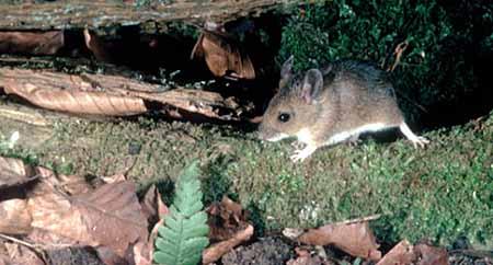 Rato do Campo Características