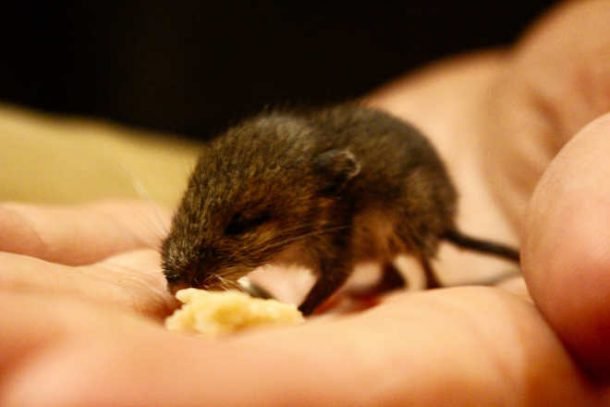 Rato do Campo Filhote