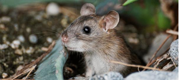 Ratos Curiosidades