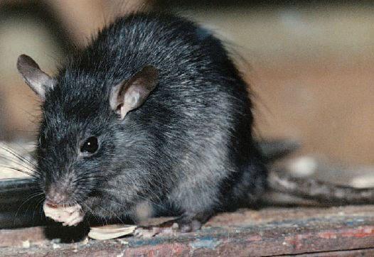 Ratos de Telhado se Alimentando