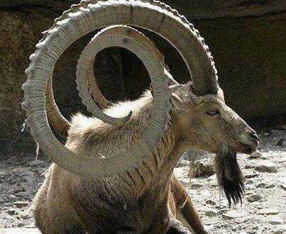 Espécies De Cabras E Tipos De Caprinos