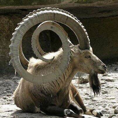 Caprino Selvagem - Ibex