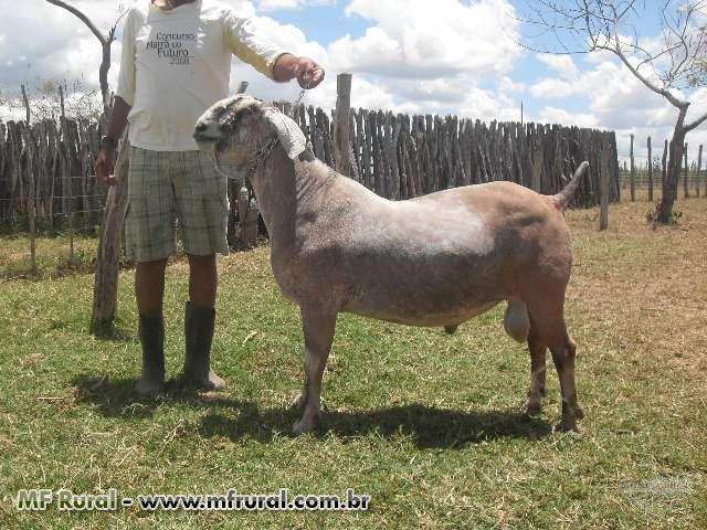 Homem Cuidando de Uma Cabra Anglo Nubiana
