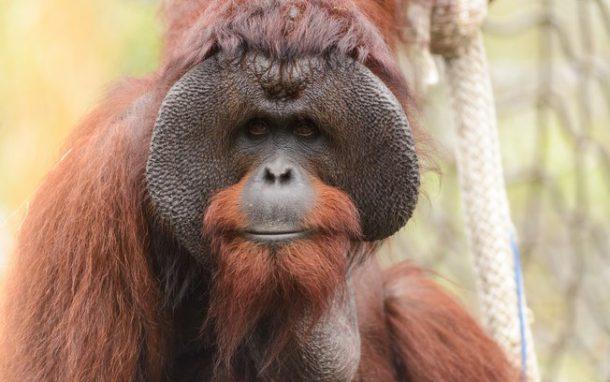 Orangotango Características