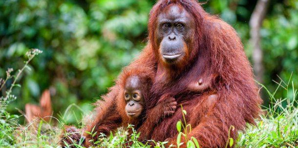 Orangotango Filhote