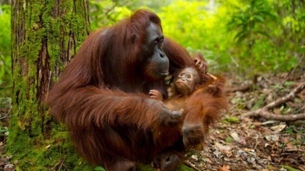 Orangotango Reprodução