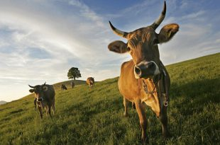 Vacas com Chifres