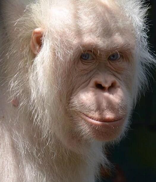 Alba Orangotango Albino