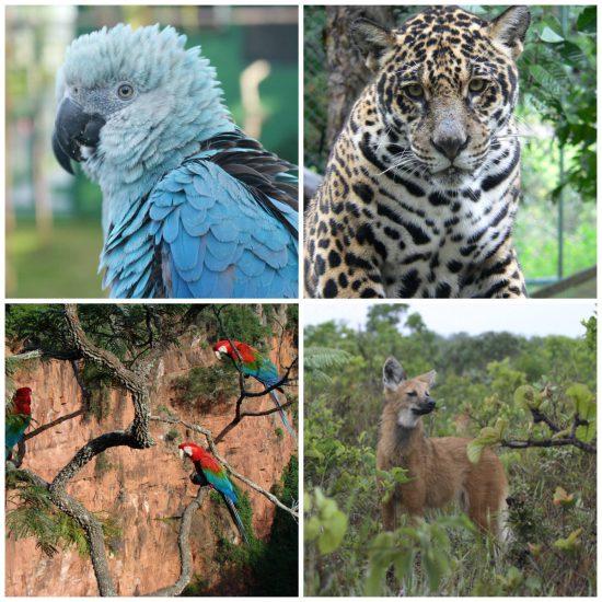Animais em Extinção no Brasil Caracteristicas