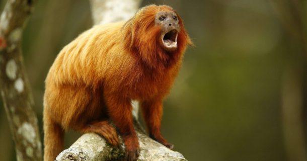 Animais em Extinção no Brasil - Mico Dourado