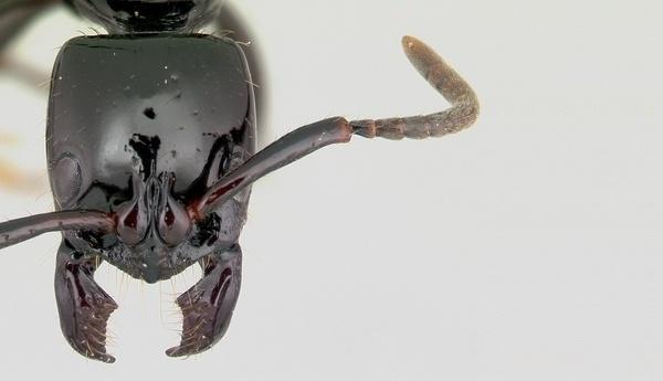 Antenas Formiga