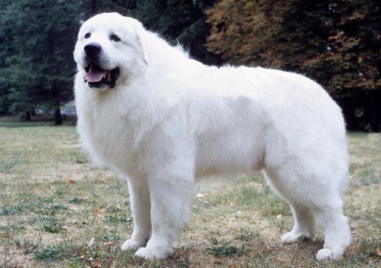 Cão da Montanha dos Pirineus
