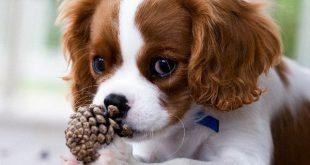 Cachorros Pequenos Para Apartamentos