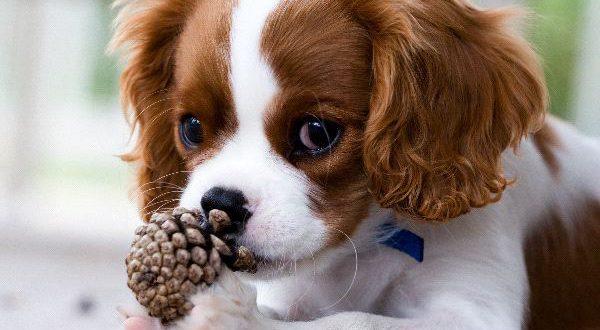 Cachorros Pequenos Para Apartamentos e Casas