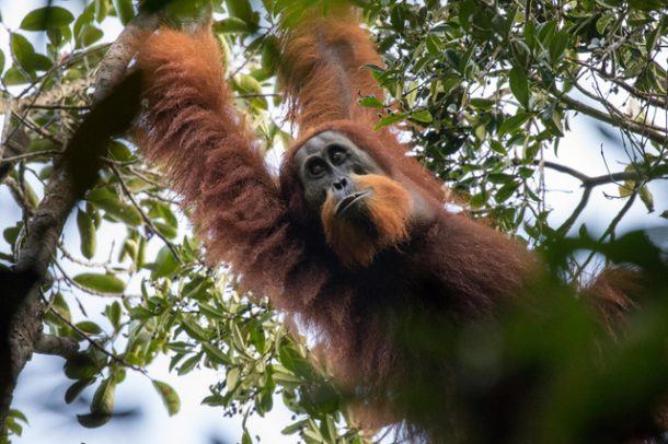 Comportamento do Orangotango