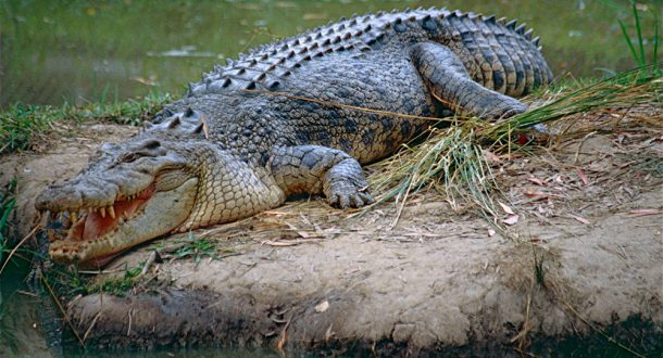Crocodilo de água doce Gigante