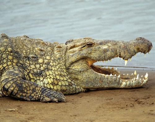 Crocodilo de água doce