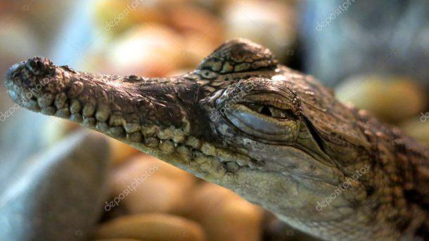 Crocodilo de água salgada - Reprodução