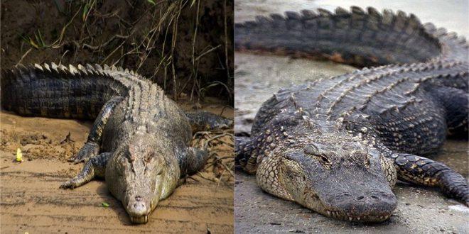 Qual a diferença entre crocodilo e jacaré?