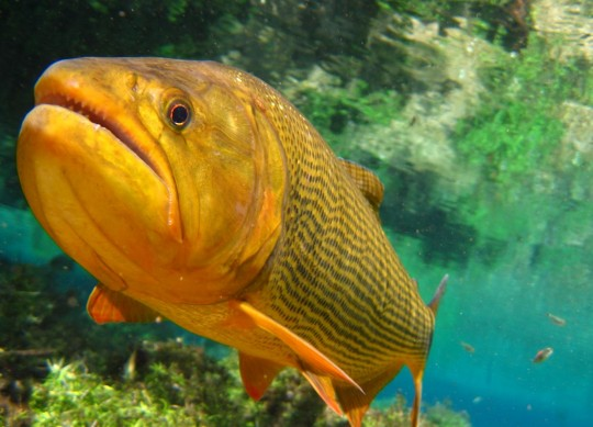 Dourado Peixe