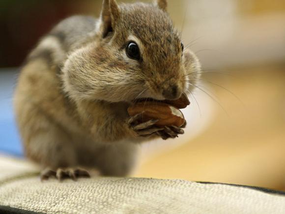 Resultado de imagem para esquilos-- brasil
