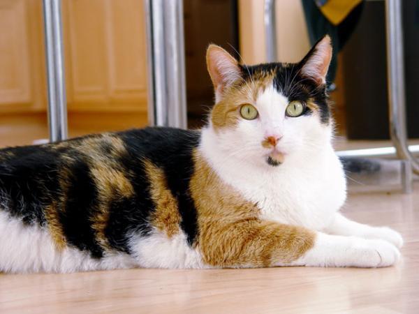 Gato de três cores