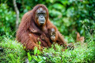 Habitat Do Orangotango