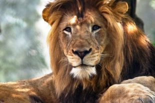 Leão Comportamento