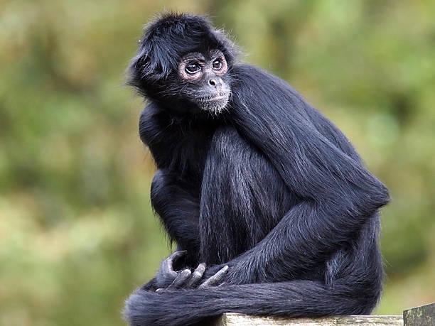 Resultado de imagem para macaco aranha