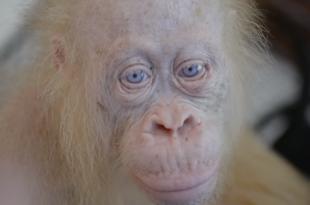 Orangotango Albino