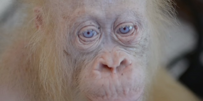 Orangotango Branco Existe, Sim Ou Não?