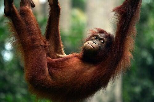 OrangotangoComportamento