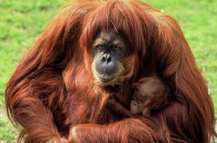 Orangotango De Sumatra