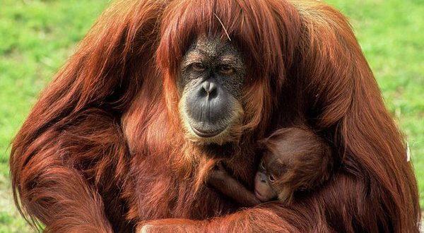 Orangotango De Sumatra: Nome Científico e Reprodução