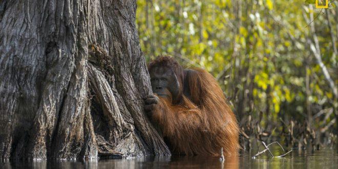 Orangotango Gigante Existe? Qual A Sua Espécie?