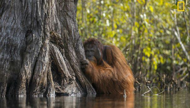 Orangotango Gigante