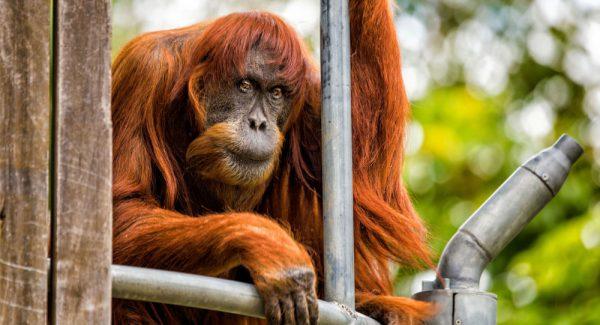 OrangotangoInteligencia