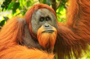 Orangotango Pongo De Abelii