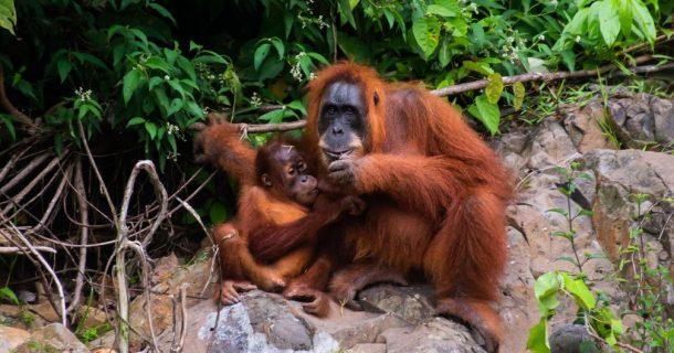 Orangotango da Sumatra