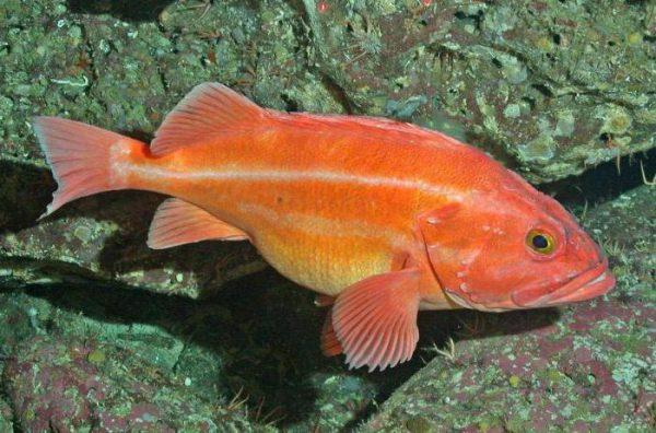 Peixe Actinopterígeo