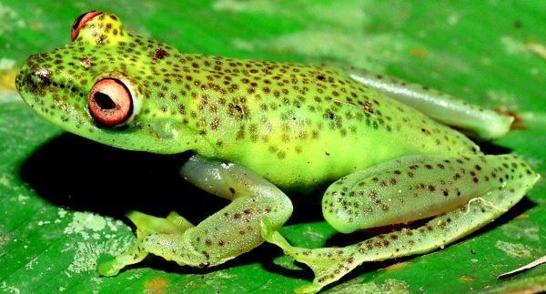 Phrynomedusa fimbriata