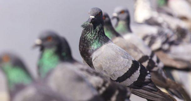 Pombos Características