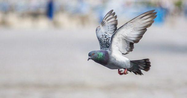 Pombos Transmitem Doenças