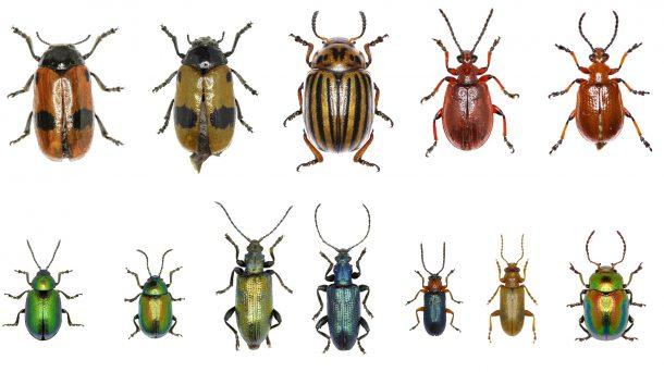 Tipos de Besouros Brasileiros