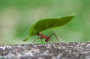 Alimentação das Formigas