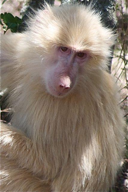 Babuíno albino