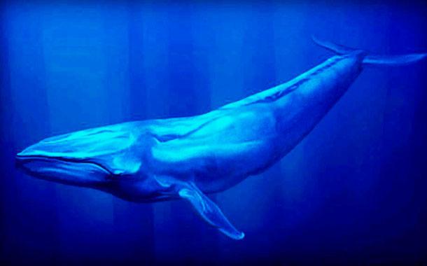 Baleia Azul - Baleia Mais Pesada do Mundo